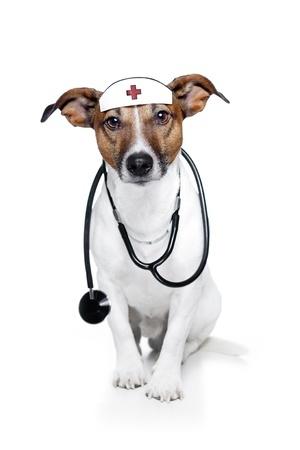 chien jack russel déguisé en infirmier vétérinaire